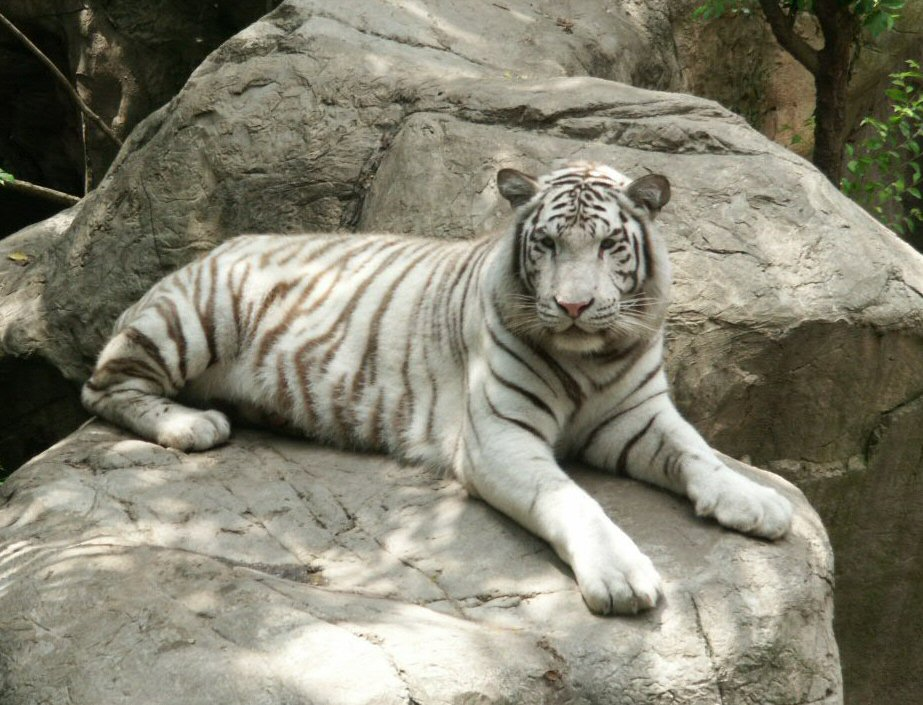 white tigers are an endangered species and facing many challenges Many of the venues that display white tigers have a long history of gave the public the impression that this was an endangered species that they were.
