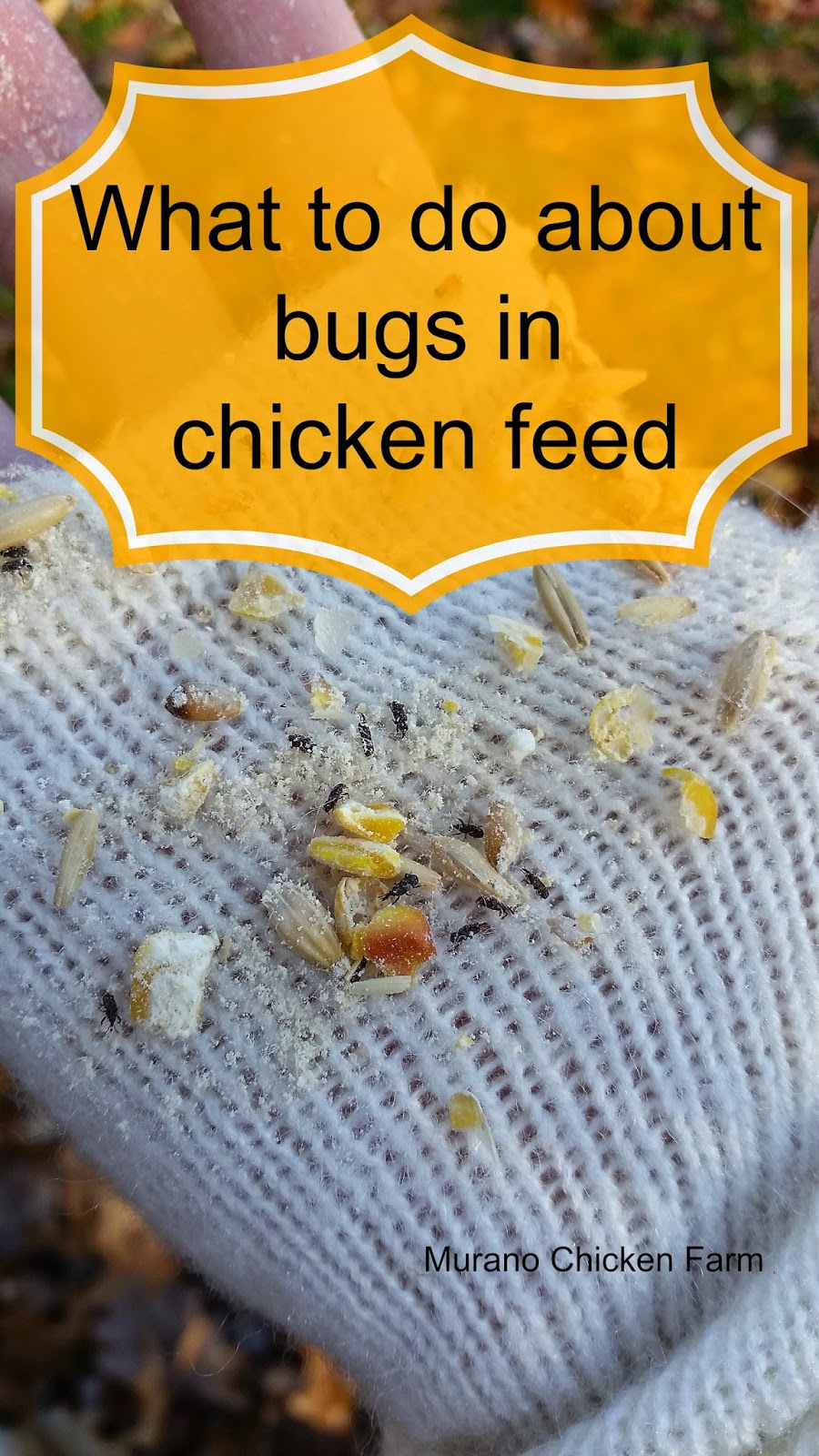 bugs in chicken feed