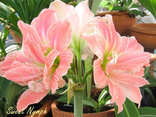 Amaryllis review hippeastrum amaryllis sweet nymph for Amaryllis sweet pink