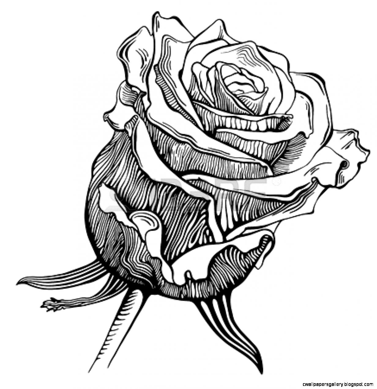 Rose Black And White Drawing Widescreen 2 HD Wallpapers  Aduphoto