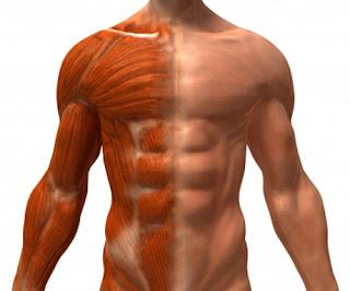 Musculos en biologia