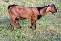 kambing kacang
