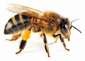 Lebah Madu - www.jurukunci.net