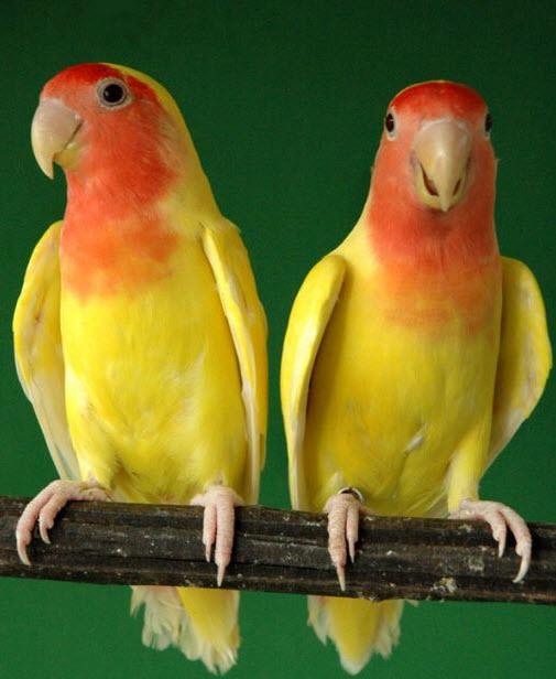 tentang burung di indonesia gambar burung love bird
