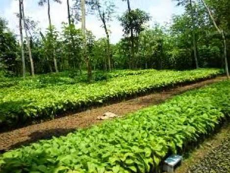 salah satu lokasi perkebunan bibit hortikultura di pringsewu