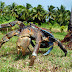 Birgus latro: Το καβούρι-γίγας το οποίο ζει αποκλειστικά στην ξηρά [Εικόνες Βίντεο]