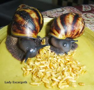 escargot geant mange