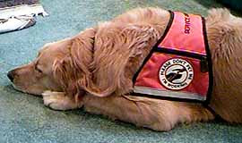 Seizure Alert Dog Amber relaxing in her ID Cape dog vest.