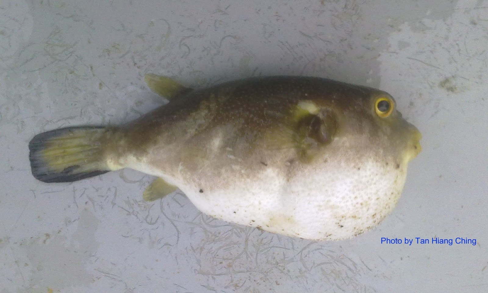Fish And Fishing In Tanjung Leman Puffer And Non Edible