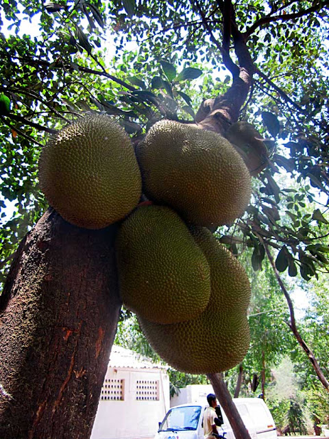 several jackfruits on a tree
