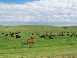 Montana Cows