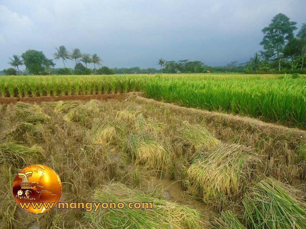 FOTO : Tanaman padi selesai dipotong menggunakan sabit
