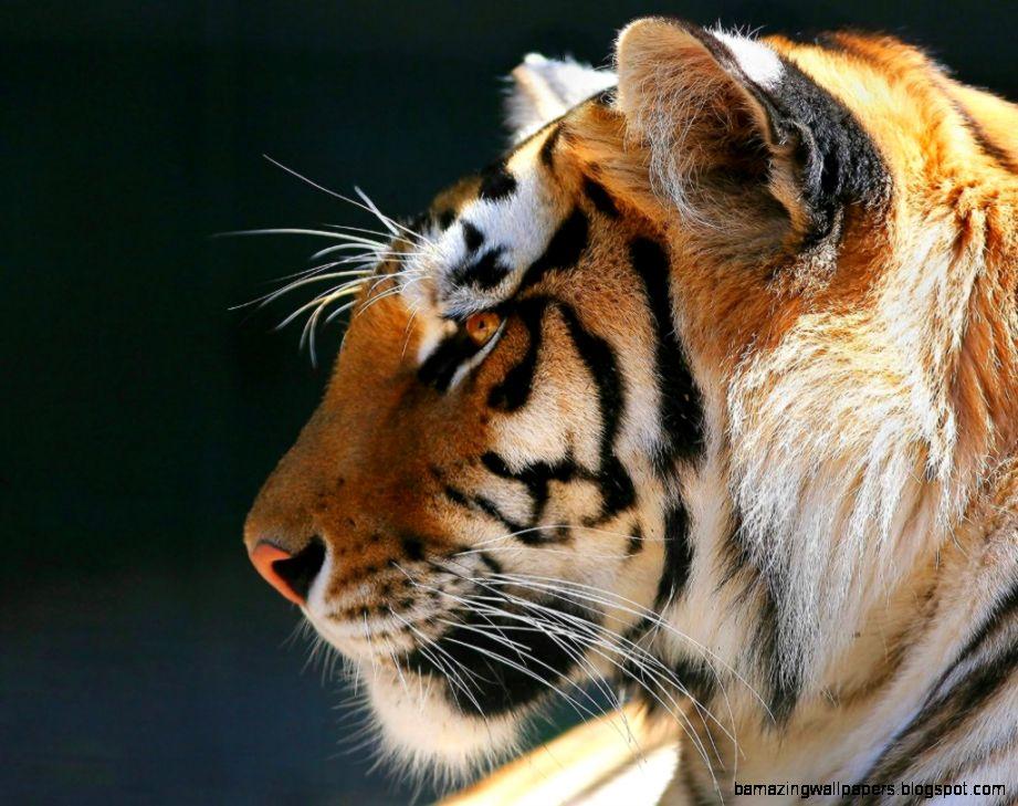 tiger wallpaper widescreen - photo #12
