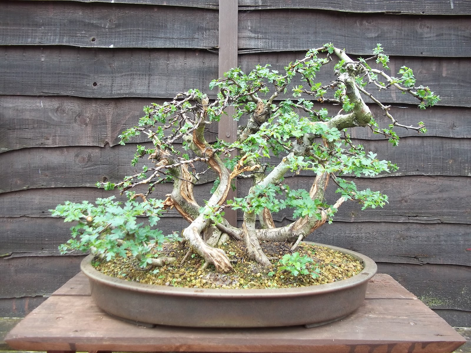 Ronin Bonsai Hawthorn Forest Update