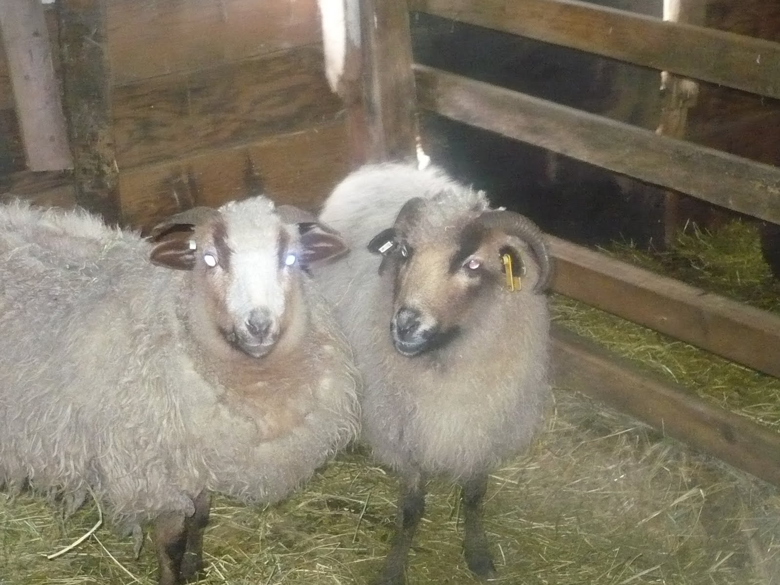 by u s  sheep breeders and