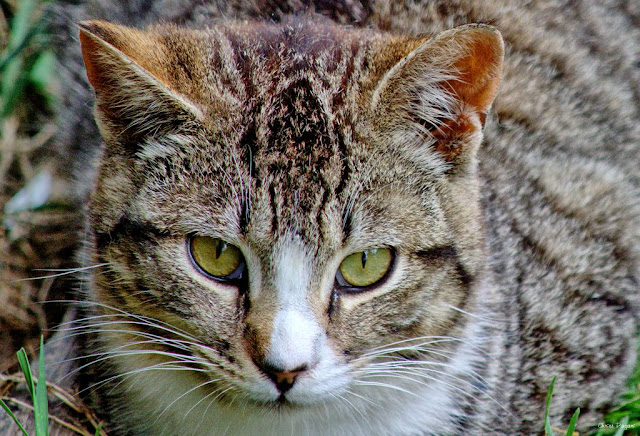 Nosey The feral Tabby Cat
