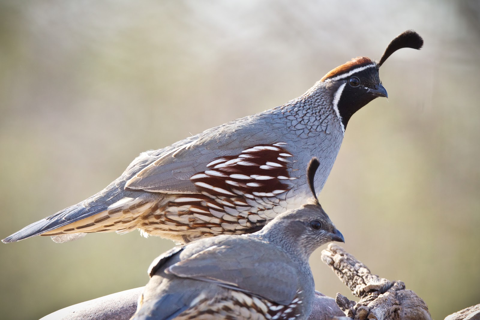 Feather Tailed Stories: Gambel's Quail