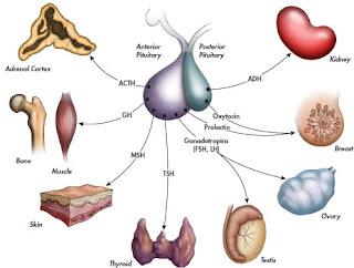 Hormone Producing gland. Hormonal Gland