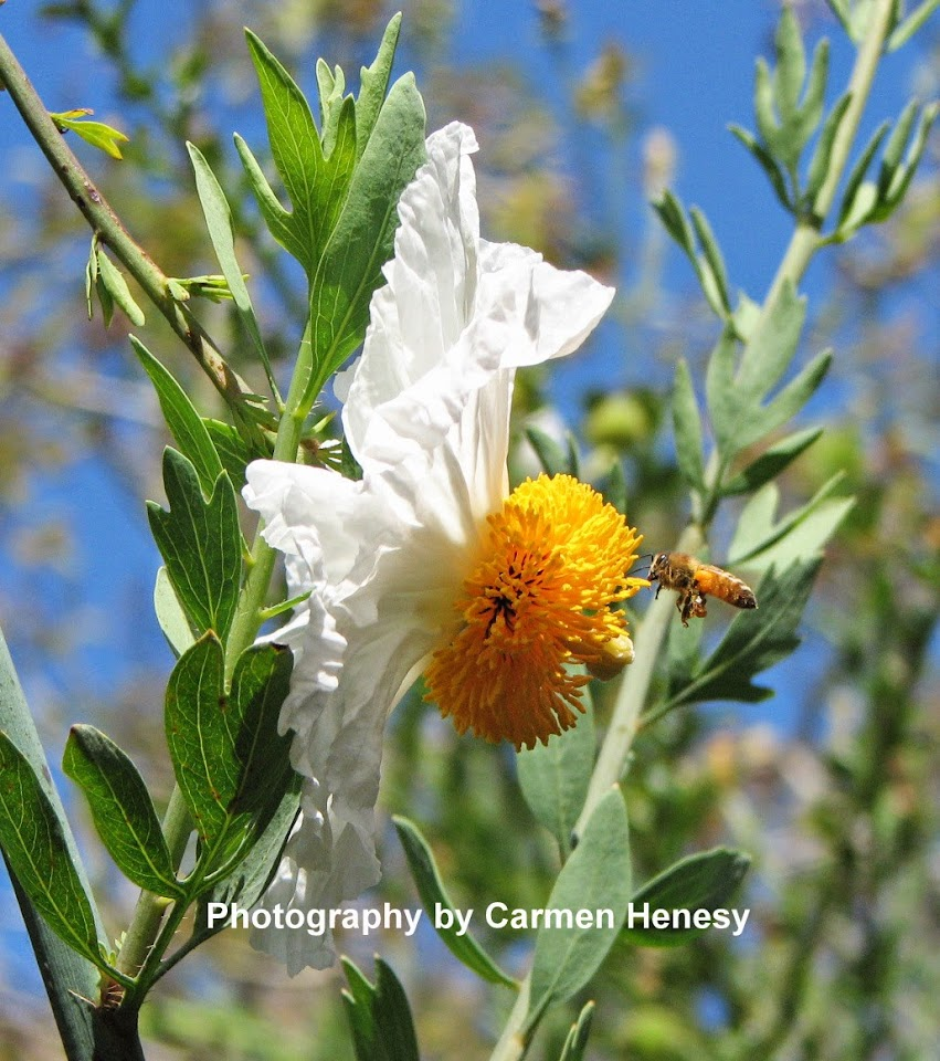 Matilija Poppy, San Francisco Botanical Garden