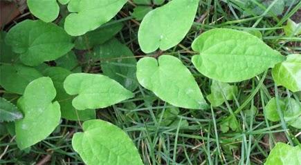 epimedium herbal paling top untuk kesehatan seksual lelaki terapi