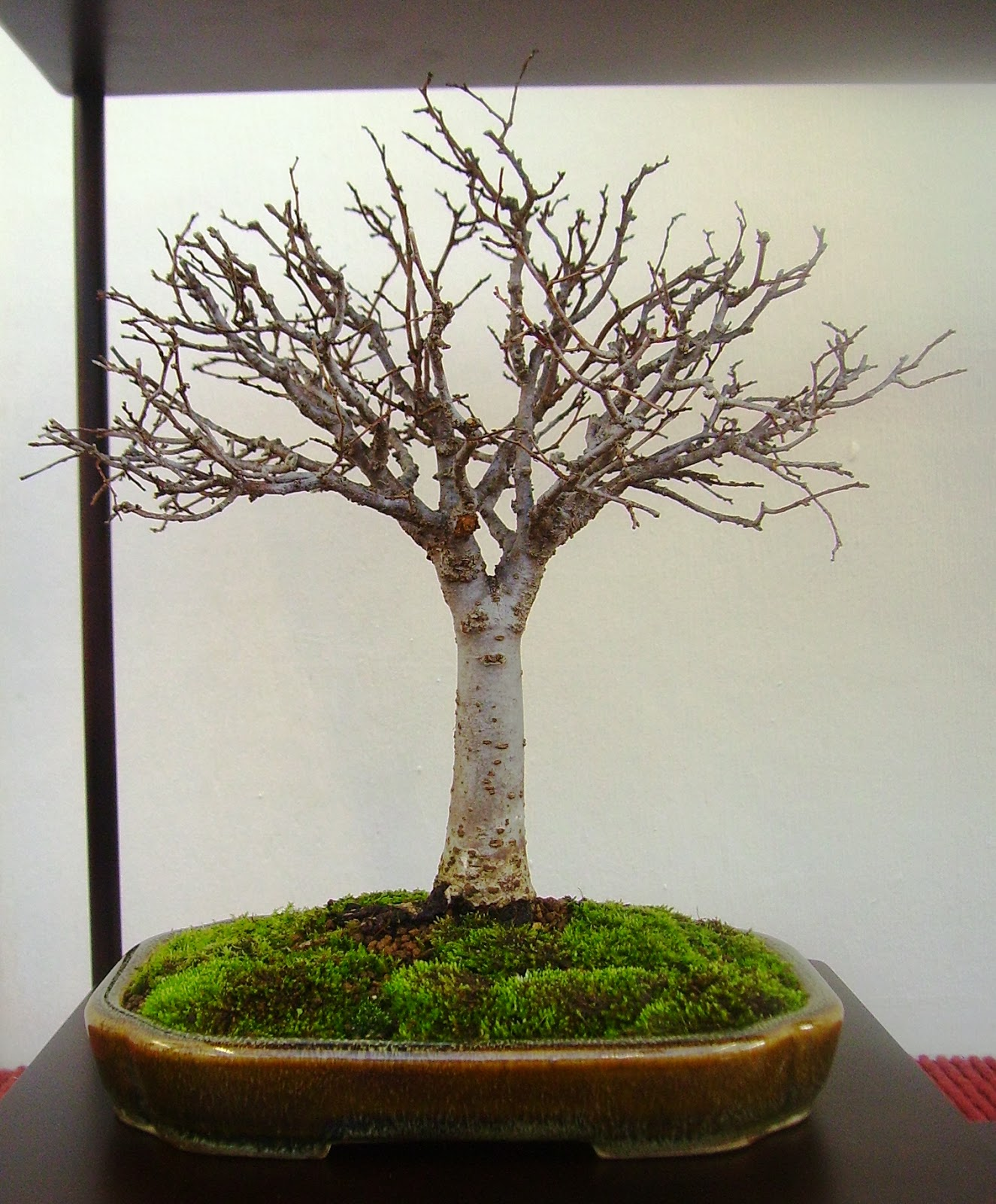 Bespoke Bonsai Stands My Trees Displayed At The BSA Show