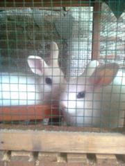 kelinci-12