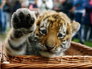 binatang terkuat di dunia - harimau | foto harimau lucu