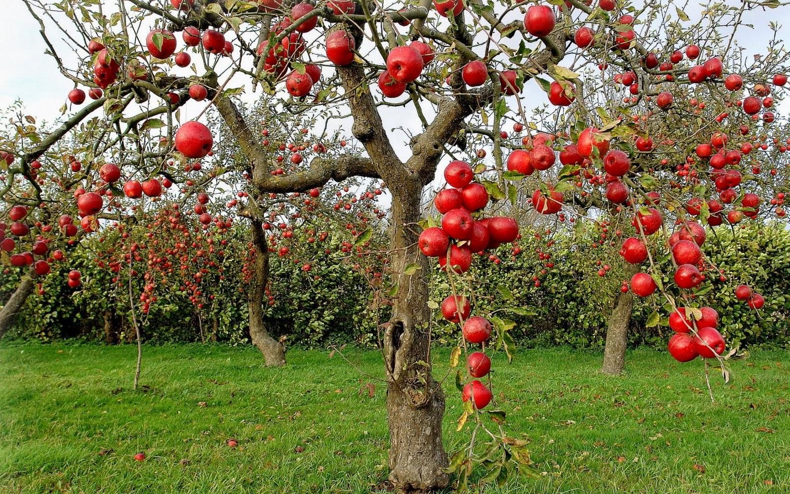 Tu huerto y jardin rbol de manzana for Arboles de jardin
