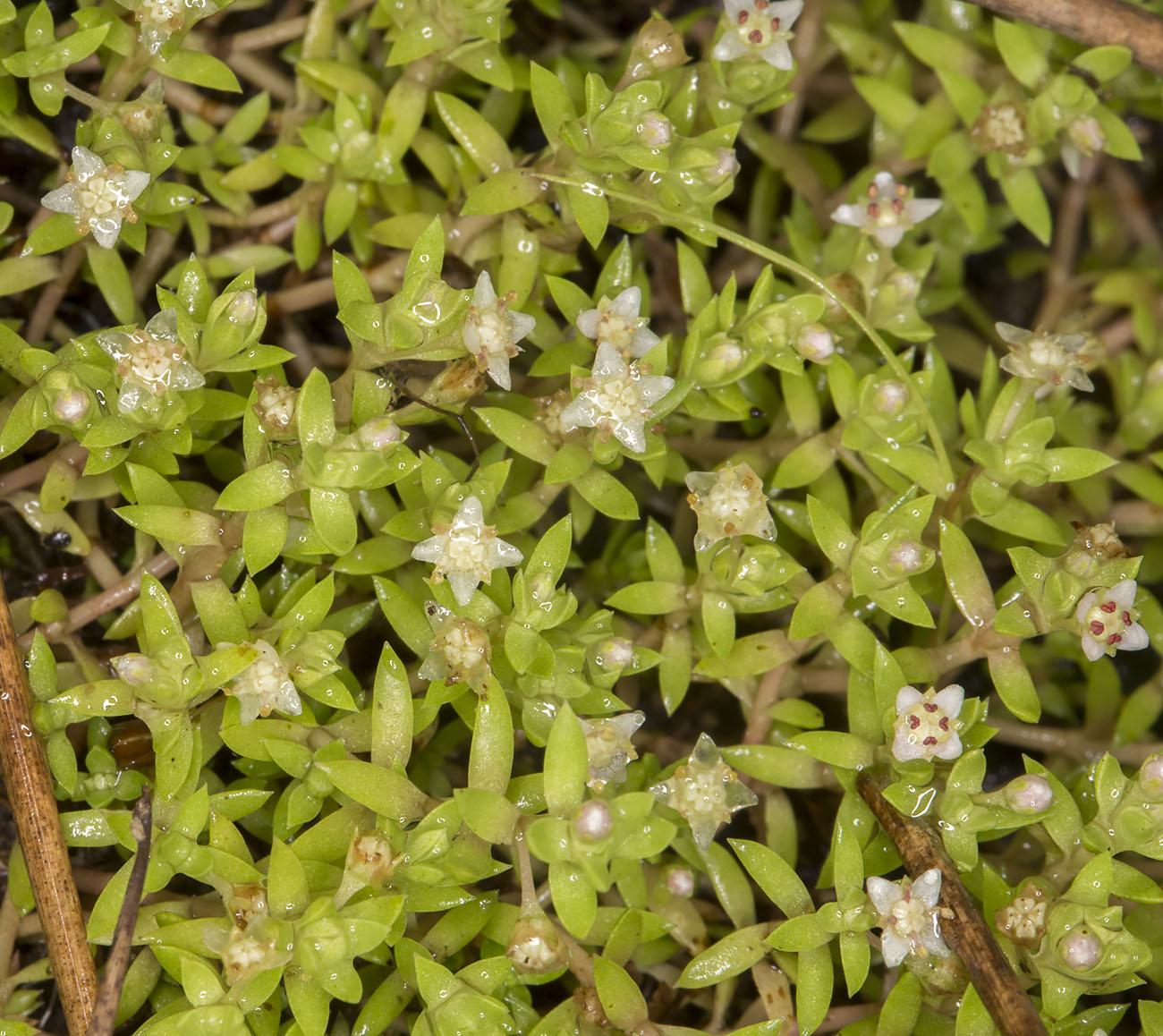 New Zealand Pigmyweed, Crassula helmsii.  Knole Park, 15 August 2014.