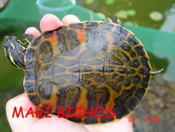 Pseudemys nelsoni - Tortuga de vientre rojo