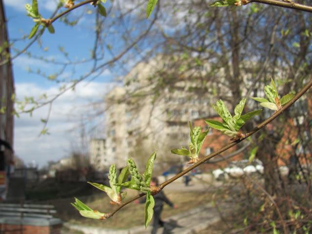 Почки распустились в листочки - весна!
