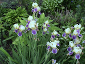 Pale Yellow Iris with Purple Falls