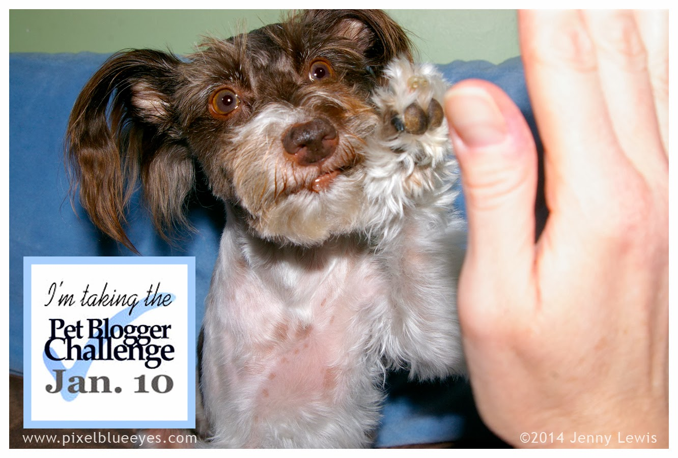 "Image of Pixel holding her paw in the air ""taking the Pet Blogger Challenge"" for Jan 10 2014"
