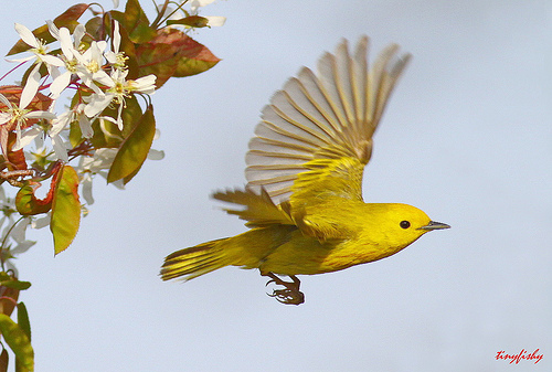 the yellow warbler beautiful bird the wildlife