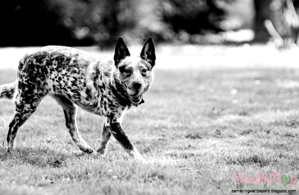 Addie the Australian Cattle Dog  Ohio Pet Photographer