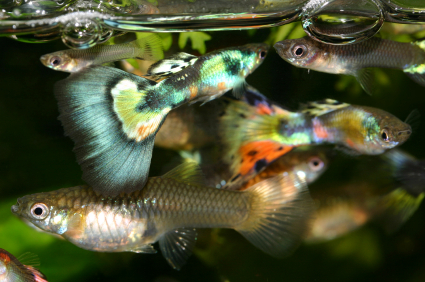 Guppy fish care for Expensive fish to eat