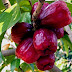 Health Benefits of Malay Rose Apple, Jambu Bol (Syzygium malaccense) for your body