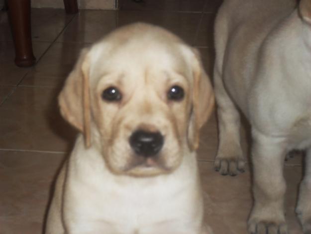 yellow lab pitbull mix puppies