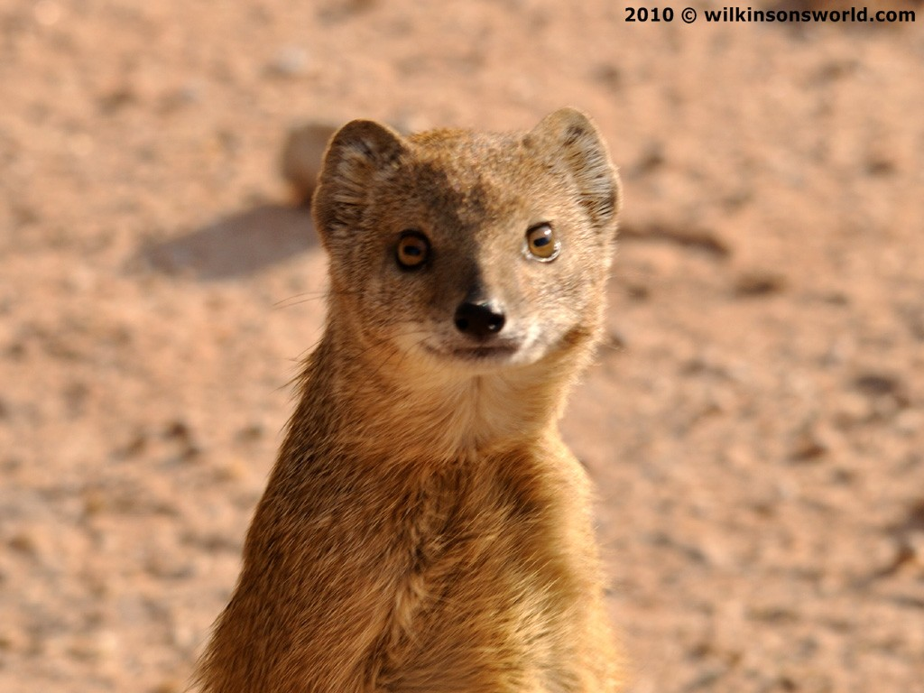 moongose the mongoose is a small rodent like mammal the mongoose