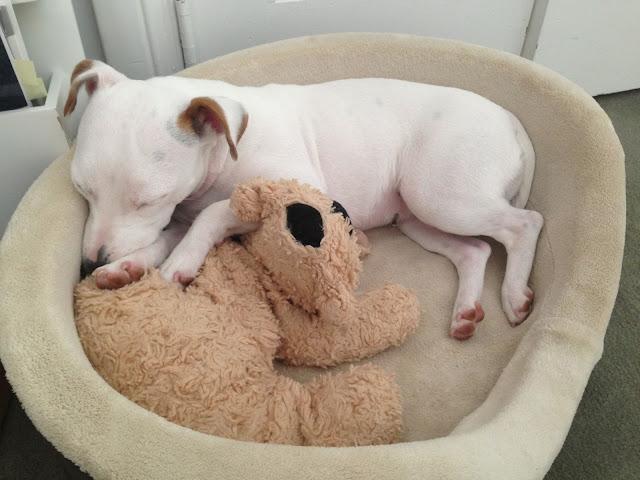 dog sleeping with stuffed animal