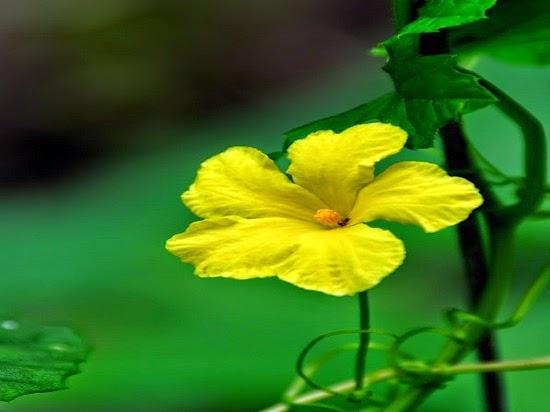 Hoa mướp đắng