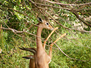 . baby gerenuk at the Denver Zoo. The baby's name is Blossom and her . (disney world )
