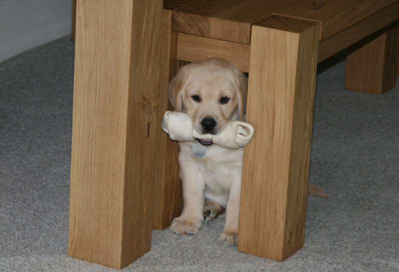 Labrador pup's bone