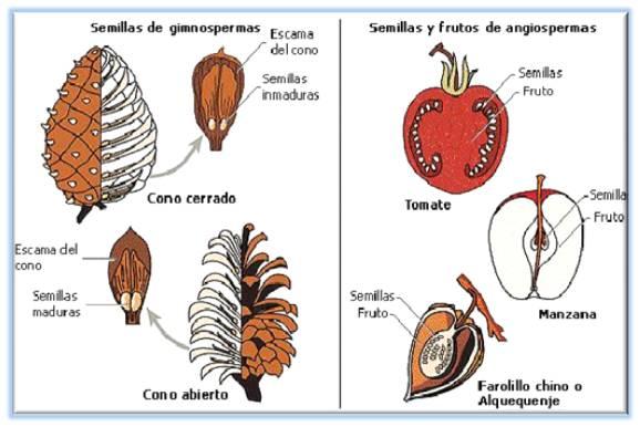 Universo Botánico: Los Frutos II. Clasificación.