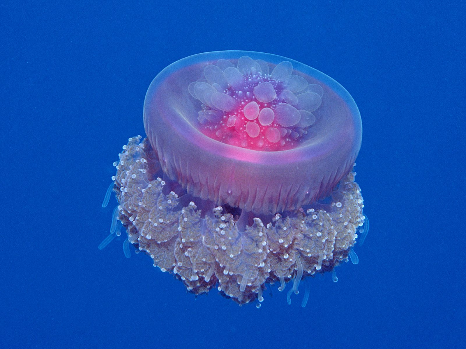 Crown jellyfish for Fish in jellyfish
