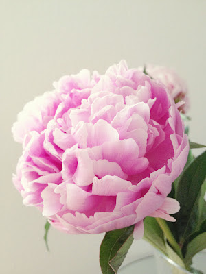 Pink fluffy peony vintage style