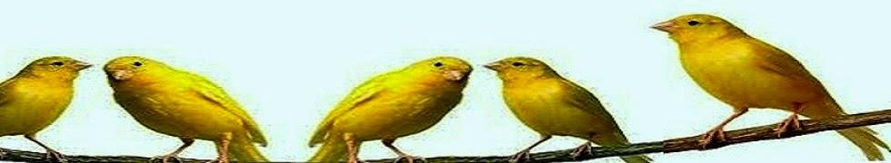 Cara Beternak Dan Perawatan Burung Kenari