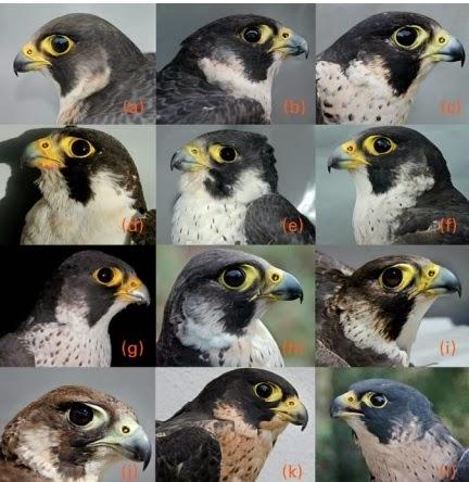 Reconocimiento individual de halcones
