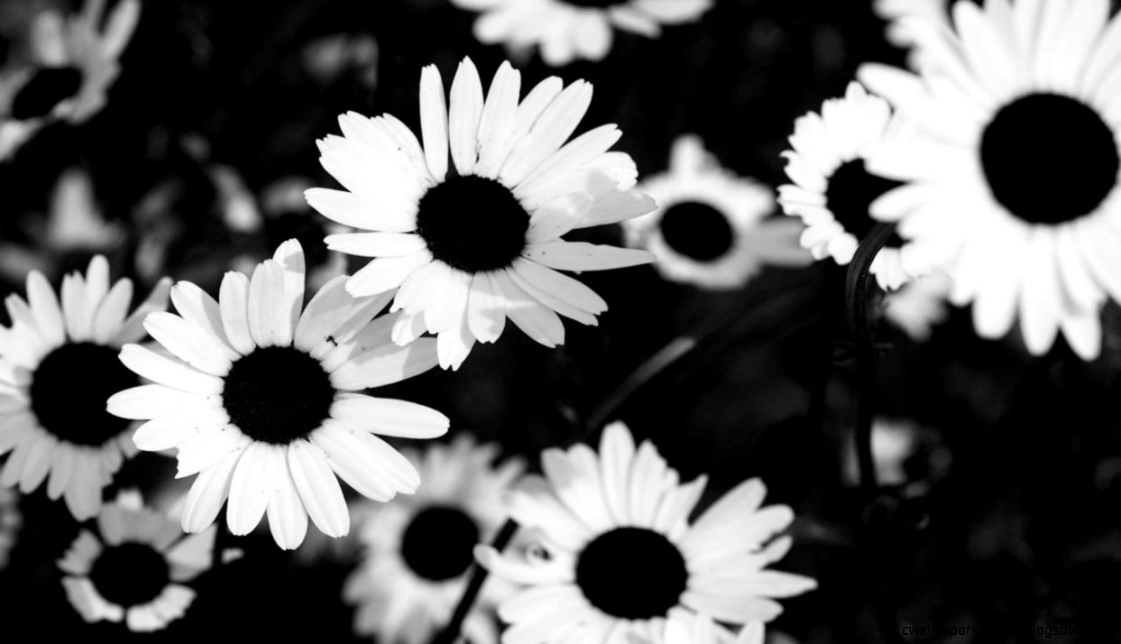 Black And White Sunflower Tumblr Backgrounds