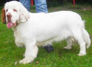 Clumber Spaniel Dog 1